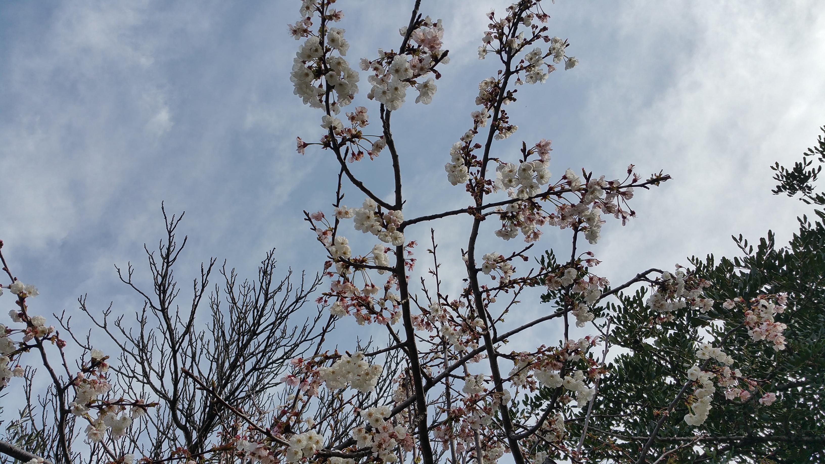 Cerezos en Primavera a