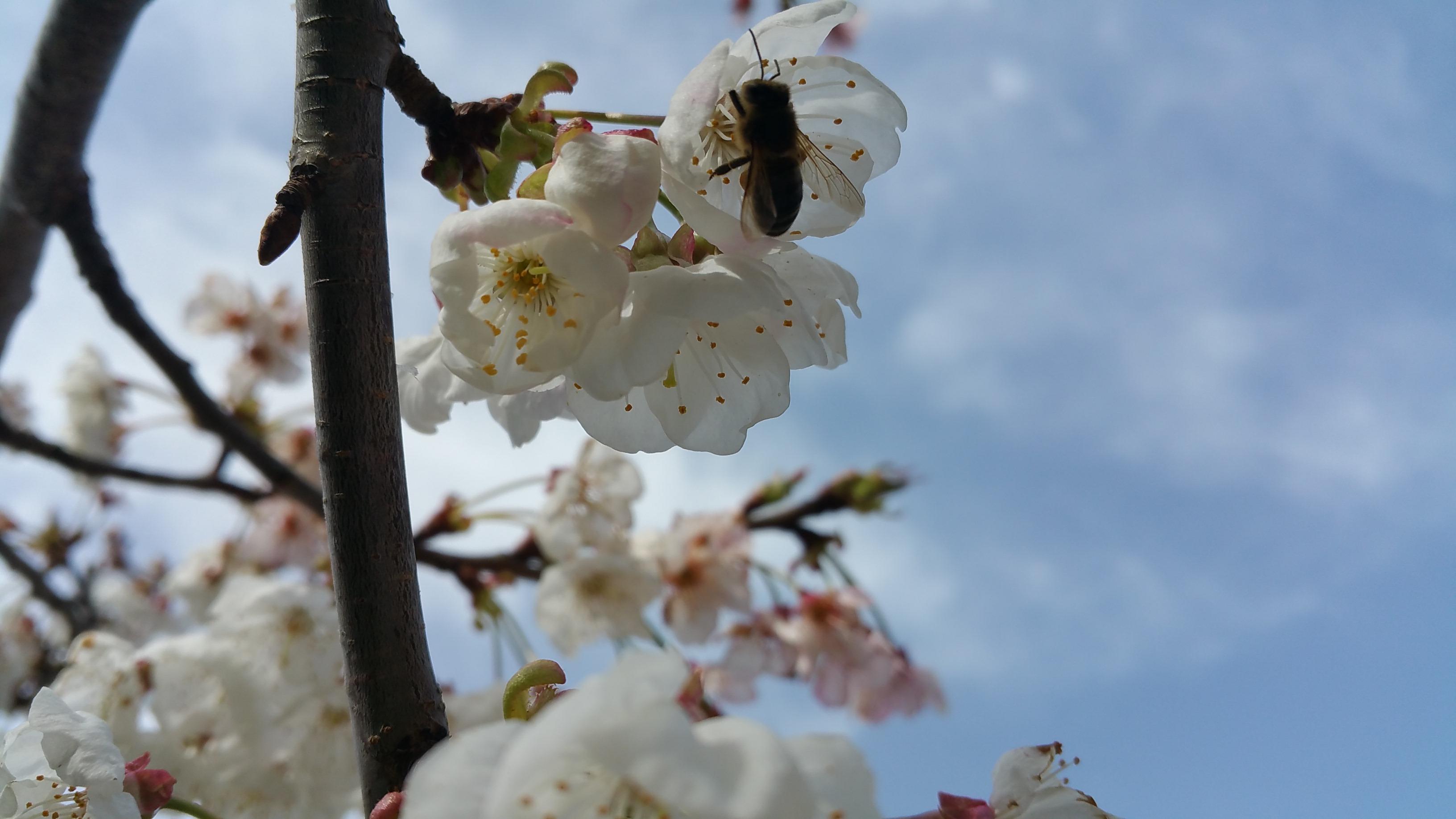 Cerezos en Primavera b